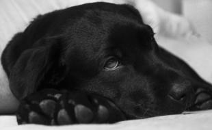 Sick labrador - Pixabay