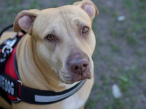 Service dog (Michael Darby, Pixabay)