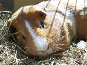 Guinea pig. Source: Wikimedia Commons