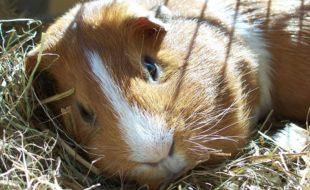 Guinea pig. Source: Wikimedia Commons